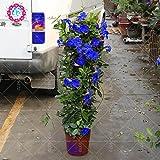 100pcs / bag Mandevilla sanderi -Dipladenia sanderi semi, piante bonsai del fiore per il giardino della casa piantagione, facile da coltivare 1