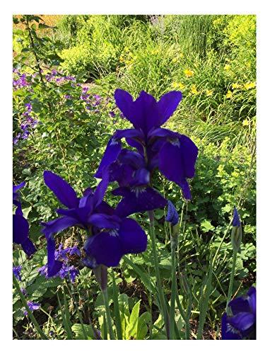 20x Blaue Iris Garten Orchideen Samen Blume Pflanze Saatgut Haus #61 (Pflanze, Samen Blau, Orchidee,)