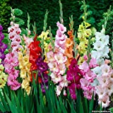 Gladiolus Flower Bulb (40 Bulbs) Mixed Colour For Kitchen Garden, Balcony Garden, Window Garden, Indoor Window Garden, Office Indoor Plants, Indoor Table Garden, Indoor Plants, Outdoor Plants