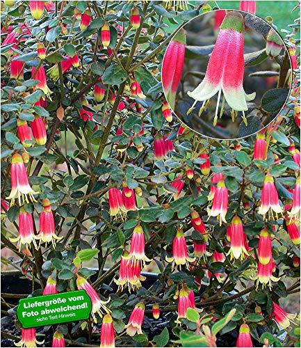 Ziersträucher schönsten Gartenpflanzen: