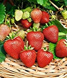BALDUR-Garten Immertragende Erdbeere