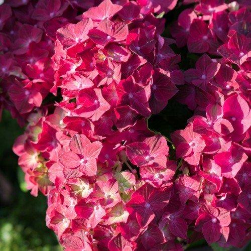 hortensie-gartenhortensie-magical-ruby-tuesday