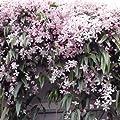 Clematis armandii Apple Blossom (Immergrün und Winterhart) Kletterpflanze - 1,5 Liter Topf - ClematisOnline Kletterpflanzen und Blumen von ClematisOnline auf Du und dein Garten