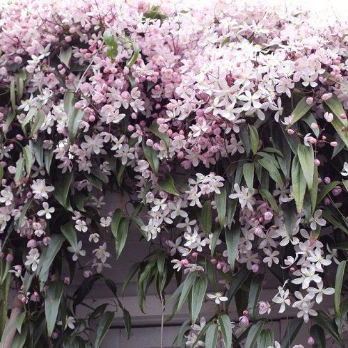 3 Clematis armandii Apple Blossom (Immergrün und Winterhart) Kletterpflanzen: 3 kaufen/ 2 bezahlen...