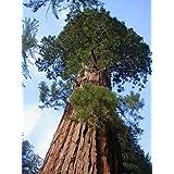Exotic Plants Sequoiadendron giganteum - - 20 semillas
