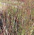 Rutenhirse Heiliger Hain - Panicum virgatum von Baumschulen - Du und dein Garten