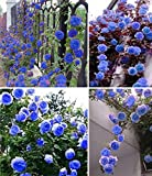 Nooelec Seeds India Blue Climbing Rose Flower Seeds