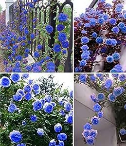 Nooelec Seeds India Blue Climbing Rose Flower Seeds