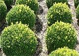 Buchsbaum Kugel 20-25cm