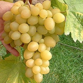 Arkadia ®, pilzfeste Wein Rebe, gelbe Weintraube, kernarm im 2 Liter Topf
