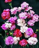 """Premier Seeds Direct RD-MWBI-XFQS Nelken """"Frühjahrsschöhnheit ganzjährige Mischung"""" Samen (Packung mit 400)"""