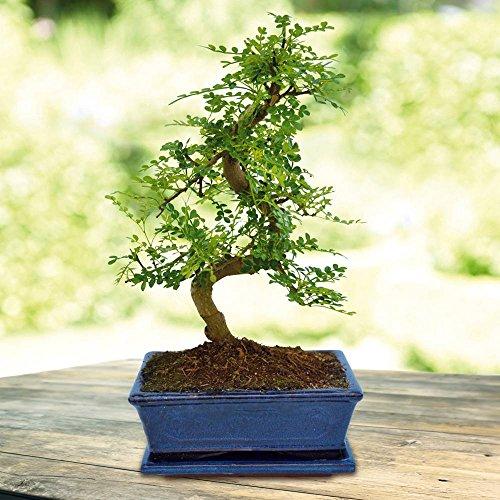 Bonsaï Zanthoxylum 20cm forme S - 1 arbre