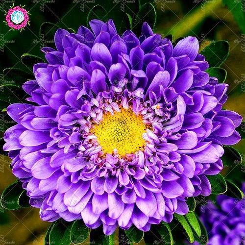 100 / sac rares Callistephus chinensis superbes plantes en pot de jardin Chine aster fleurs bonsaïs d'intérieur graines