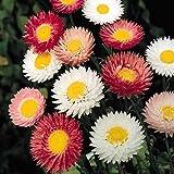 Pinkdose® Blumensamen: Lakritze Pflanze Blume Garten Samen Von Blumen Beste Keimung (16 Pakete) Garten Pflanzensamen Von
