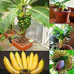 Kaimus 10/20/30/50/100 Stücke Banane Samen Mini Bonsai, exotische Hausgarten Obst Bäume Outdoor Obst Samen für Garten Pflanzen (30 Teile/paket)