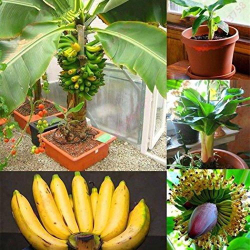 Qulista Samenhaus - Raritäten BIO Banane Bonsai schnellwachsend Obst Saatgut mehrjährig winterhart Exotik für Terrasse und Balkon - 6