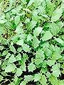 Kohlrabi weiß, Kohlrabi im 12 Pflanzen von Weseler Kräuterparadies bei Du und dein Garten