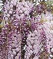 Blauregen Macrobotrys 40-60cm - Wisteria floribunda von Baumschule bei Du und dein Garten