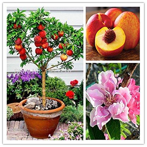 10 Stück süßen Pfirsich Samen, Pfirsichbaum-Samen, Dwarf Bonanza Pfirsiche, Bonsai Fruchtsamen für Hausgartenpflanzen