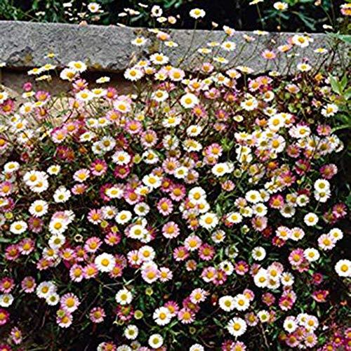 Obrid#e5on Gänseblümchen Samen Mehrfarbig Blumensamen für Anfänger geeignet Garten Kräuter-Samen Gartendeko Zuhause Dekoratio 100 Stück