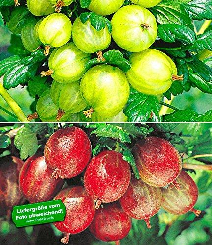BALDUR-Garten Stachelbeer-Sträucher-Set, 2 Pflanzen