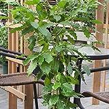 Echter Kaffee  (Coffea arabica), 2 Pflanzen