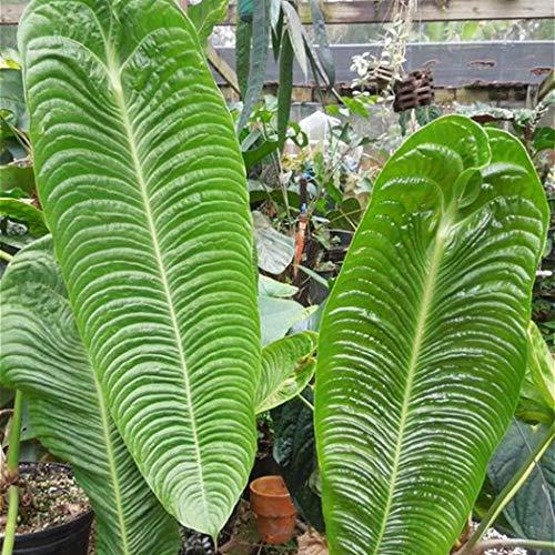 AIMADO Samen-Exotische 20 Stück Elefantenohr Samen Riesenblättriges Pfeilblatt aus dem tropischen Asien mehrjährig, luftreinigenden Pflanze Saatgut Bio für Ihre Garten Haus Topf Balkon