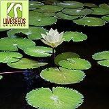 Liveseeds - Mini Bonsai Blanco Lotus/Flor de Nenúfar/5 Semillas Frescas