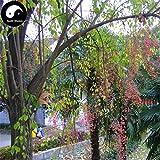 Comprare Euonymus maackii Albero semi 100pcs pianta del cotone di seta di legno bianco Du Albero