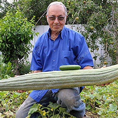 100pcs/pack Big concombre Graines rares NON-OGM délicieux concombre fruits et semences potagères pour jardin plantation de plantes Bonsai Graines Concombre