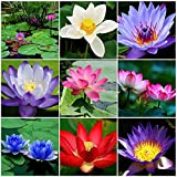 Floral Treasure Mixed Rare Color Lotus Seeds - Pack Of 10
