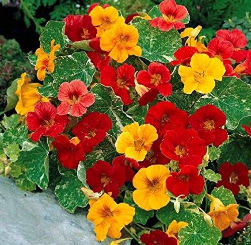 Lot de 30 Graines Capucine naine à fleurs simples Tom Thumb Mix Mix fleur annuelle hauteur 180 cm 1m80 coloris jaune rouge orange