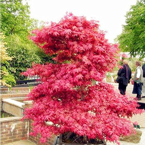 Galleria fotografica Vendita caldi in vaso semi di piante sangue americano rossi semi di acero bonsai Piante fai da te Casa e giardino 20 semi / pacchetto