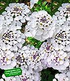 BALDUR-Garten Winterharter Bodendecker Iberis Schleifenblume Masterpiece, 3 Pflanzen