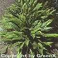 Rippenfarn - Blechnum spicant von Baumschulen bei Du und dein Garten