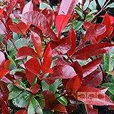 15 graines de Photinia Red Robin (Photinia fraseri)