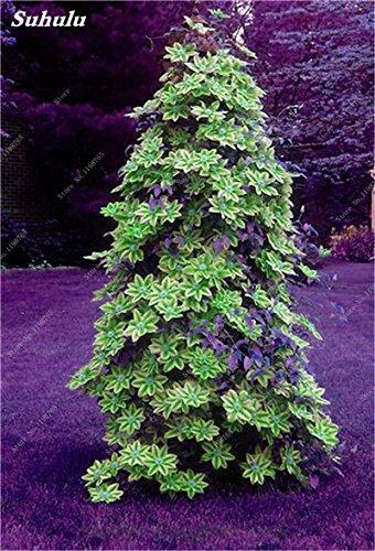 100 Pcs Clematis Graines de plantes Belle Paillage Graines de fleurs Bonsai ou un pot de fleurs vivaces pour jardin Mix Couleurs 8