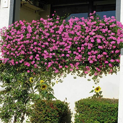Soteer Garten - 40 Stück Lila Klettern-Geranien Samen Hängegeranie seltene Pelargonien mehrjährige Gartenblumen Blumenstauden Samen Winterharte für Garten Balkon/Terrasse