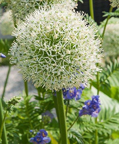 Galleria fotografica Aglio gigante BIANCO (Allium Giganteum) - 30 semi / pacco - aglio decorativo, grandi dimensioni