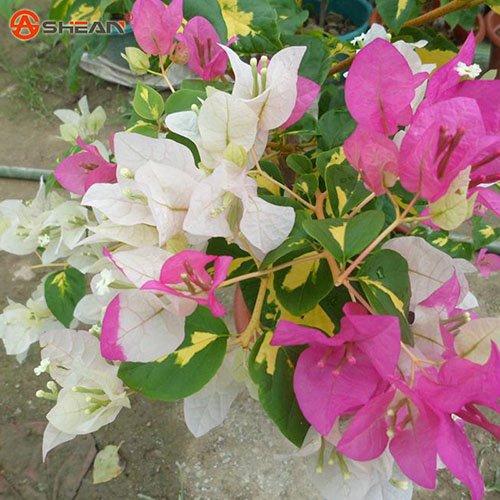 Nouvelles Plantes Blooming réel jaunes Graines Bougainvillea spectabilis Willd Bonsai Bougainvillea plantes 100 particules / lot