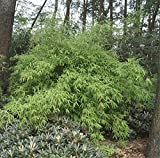 Fargesia murielae Chinese Wall - Hecken-Bambus Chinese Wall Preis nach Größe 40-60 cm