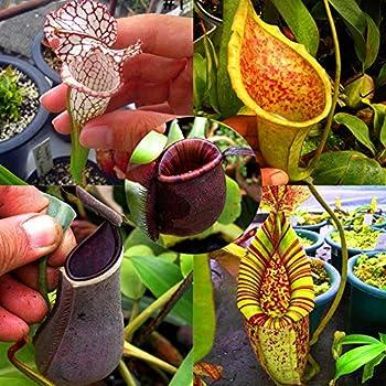 50 St/ück Fliegenfalle Pflanzen Saatgut Selten Venusfliegenfalle Samen Dionaea muscipula fleischfressende Pflanze winterhart mehrj/ährig f/ür Garten Balkon Gartensamen SummerRio