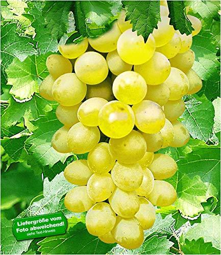 BALDUR-Garten Kernlose Tafel-Trauben 'New York®' Weinreben, 1 Pflanze, Vitis vinifera