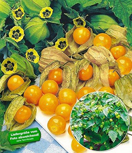 BALDUR-Garten Physalis Preciosa 2 Pflanzen Ananaskirsche Andenbeere