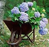 Hortensie Endless Summer 'The Original Blue' (Hydrangea macrophylla) - Blaue Bauernhortensie von Garten Schlüter - Pflanzen in Top Qualität