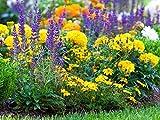 Mendigos de Arizona, salvia haraposa + caléndula - semillas de 3 especies de plantas con flores - 3 paquetes de semillas