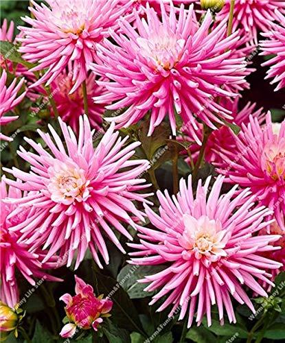 100 Pcs Dahlien Bio riesen faszinierende Balkonkasten-Blumenm winterhart mehrjährig dahlien Pflanze bulb exotische Blumensamen Sommer Blumen Samen (18)