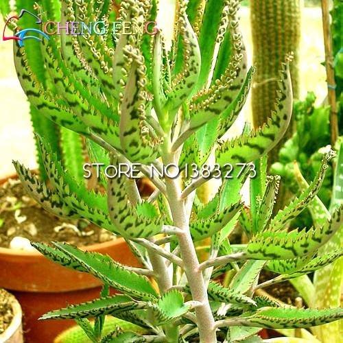 enanas-semillas-semillas-de-arboles-de-canela-semillas-de-interior-de-los-bonsais-bonsais-3pcs-hoja-