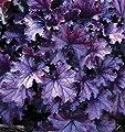 """Heuchera - Purpurglöckchen """"Forever Purple"""" Neuheit 2017 - in Gärtnerqualität von Blumen Eber von Blumen Eber bei Du und dein Garten"""