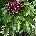 Amazon.de Pflanzenservice Bäume Bienenbaum, Euodia hupehensis, 1 Pflanze, weiß von Amazon.de Pflanzenservice - Du und dein Garten